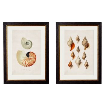 1848 'Studies of Shells' Framed Print
