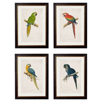 Macaw Bird Vintage Prints