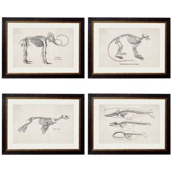 1870  Anatomical Skeletons Framed Print
