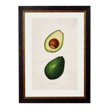 1886 Avocado Study Framed Print