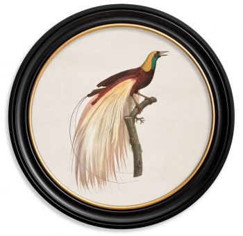 C.1809 Vintage Birds of Paradise Prints with Round Frame
