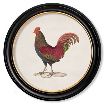 C.1836 Vintage Junglefowl Prints with Round Frame