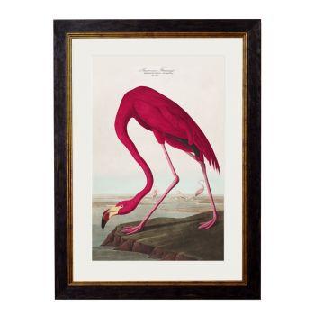 1838 American Flamingo Framed Print