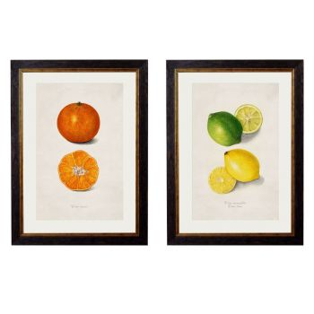 1886 Citrus Fruit Framed Print