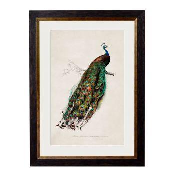1847 Peacock Framed Print