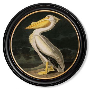 C.1838 AMERICAN PELICAN - ROUND FRAME Vintage Artwork