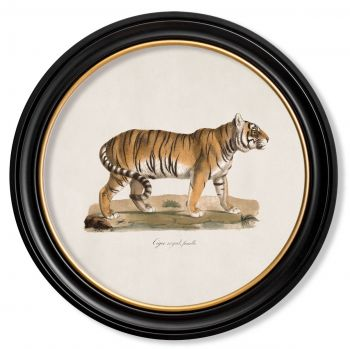 C.1876 Vintage Tiger Print with Round Frame