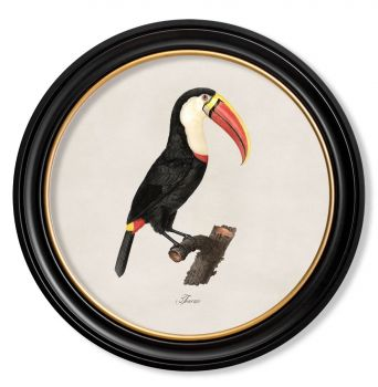 C.1809 Vintage Toucan Prints with Round Frame