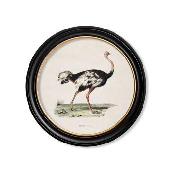 C.1846 Ostrich Round Frame Vintage Prints
