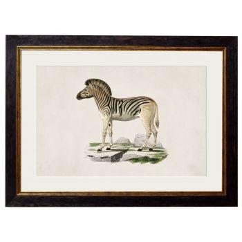 1836 Vintage Zebra Framed Print